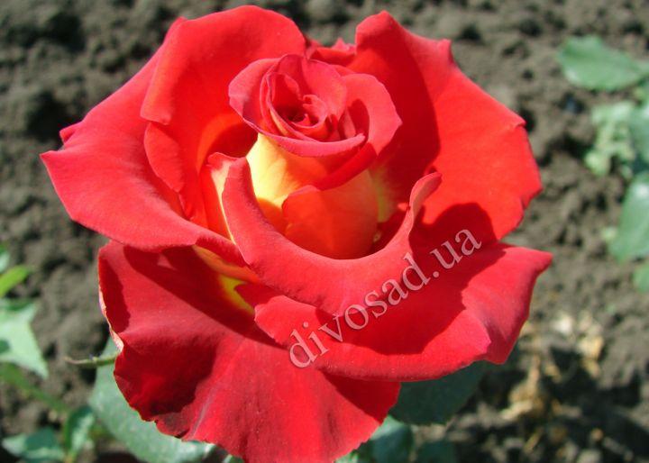 описание розы амбианс фото