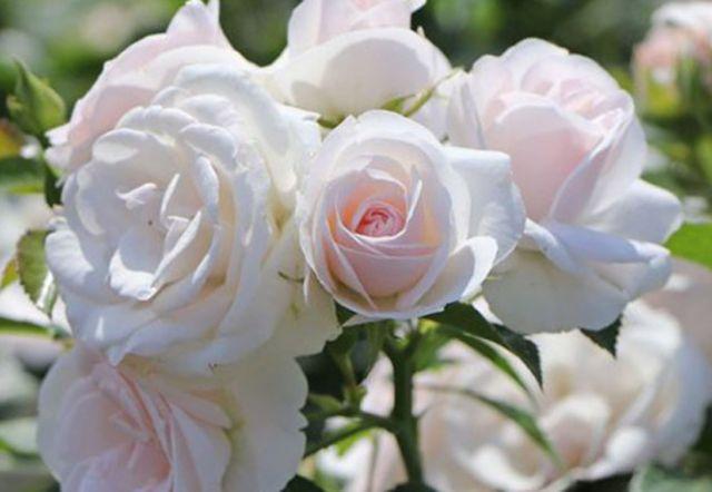 Роза ЧАЙНО-ГИБРИДНАЯ И ФЛОРИБУНДА «АСПИРИН РОУЗ»