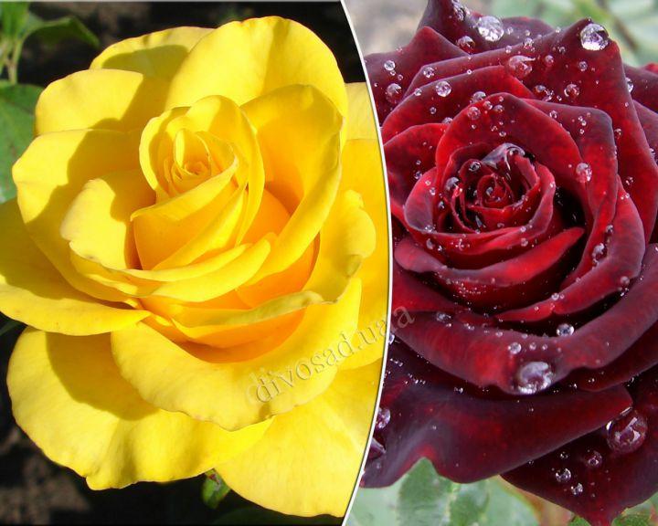 Роза ЧАЙНО-ГИБРИДНАЯ И ФЛОРИБУНДА «КЕРИО+БЛЕК БАККАРА, двухсортовой куст»