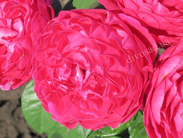 Роза ЧАЙНО-ГИБРИДНАЯ И ФЛОРИБУНДА «АСКОТ»