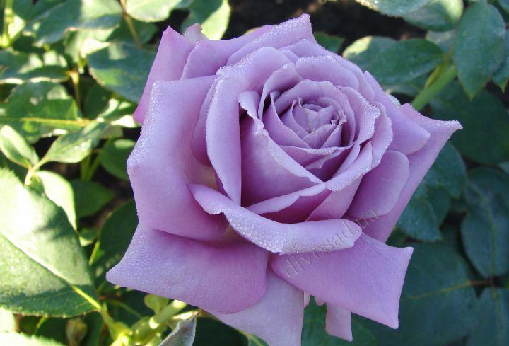 Роза  ШТАМБОВАЯ «БЛЮ ПАРФУМ, h=150 см, 2 года»