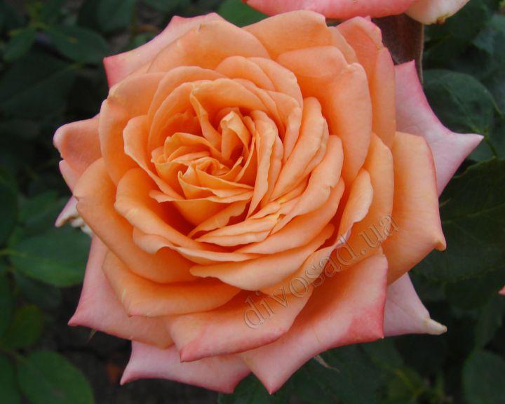 Роза ЧАЙНО-ГИБРИДНАЯ И ФЛОРИБУНДА «ЭЛЬДОРАДО»