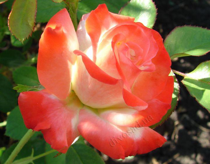 Роза ЧАЙНО-ГИБРИДНАЯ И ФЛОРИБУНДА «ИМПЕРАТРИЦА ФАРАХ»