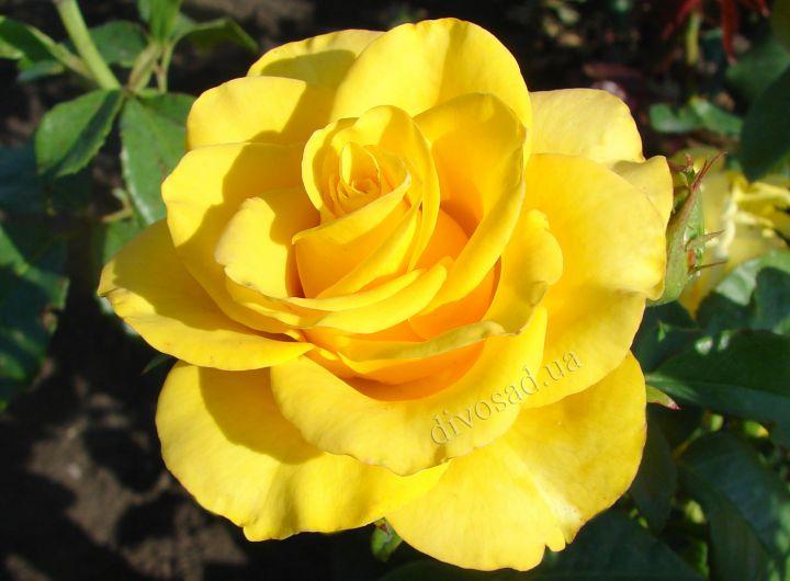 Роза  ШТАМБОВАЯ «КЕРИО, h=150 см, 2 года»
