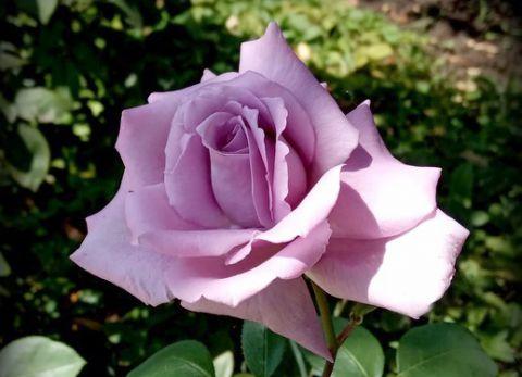 Роза ЧАЙНО-ГИБРИДНАЯ И ФЛОРИБУНДА «МАМИ БЛЮ»