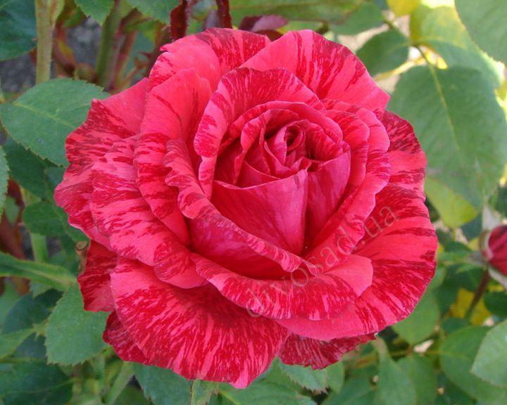 Роза ЧАЙНО-ГИБРИДНАЯ И ФЛОРИБУНДА «РЕД ИНТУИШН»