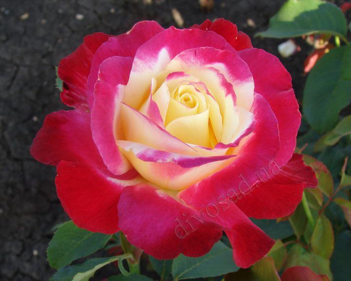 Роза ЧАЙНО-ГИБРИДНАЯ И ФЛОРИБУНДА «ДАБЛ ДЕЛАЙТ»