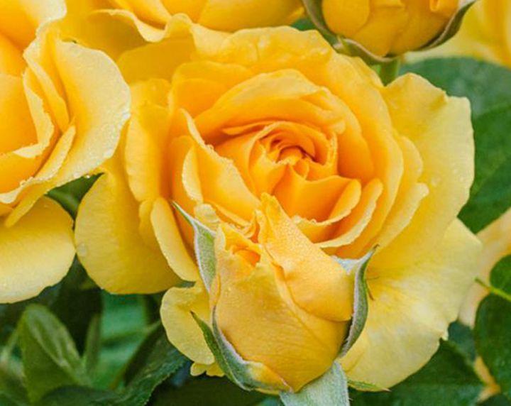 Роза ЧАЙНО-ГИБРИДНАЯ И ФЛОРИБУНДА «ДЖУЛИЯ ЧАЙЛД»