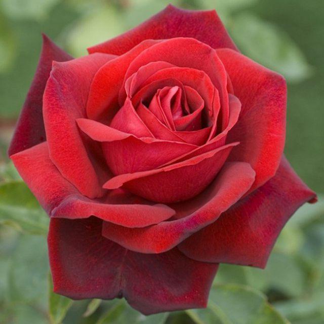 Роза ЧАЙНО-ГИБРИДНАЯ И ФЛОРИБУНДА «ЭДИТ ПИАФ»