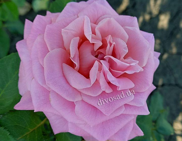 Роза ЧАЙНО-ГИБРИДНАЯ И ФЛОРИБУНДА «ЭШЛИ»