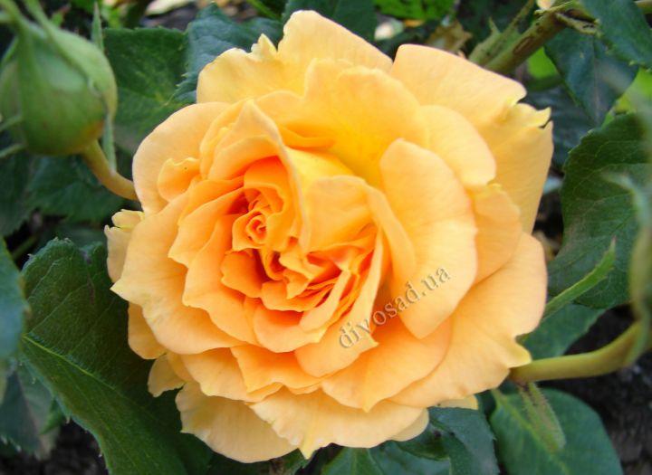 Роза ЧАЙНО-ГИБРИДНАЯ И ФЛОРИБУНДА «ГОЛД ЭЛЬЗЕ»