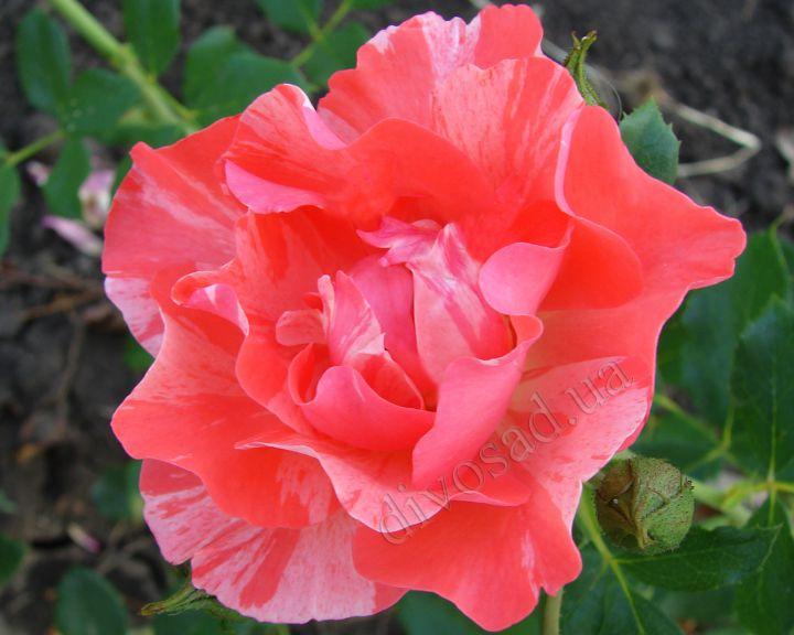 Роза ЧАЙНО-ГИБРИДНАЯ И ФЛОРИБУНДА «ГРИМАЛЬДИ»
