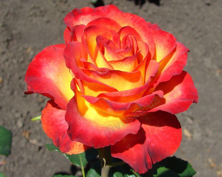Роза ЧАЙНО-ГИБРИДНАЯ И ФЛОРИБУНДА «ВЫСШЕЕ ОБЩЕСТВО»