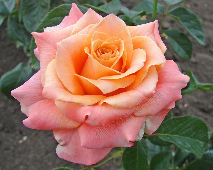 Роза ЧАЙНО-ГИБРИДНАЯ И ФЛОРИБУНДА «КАРАМБА»