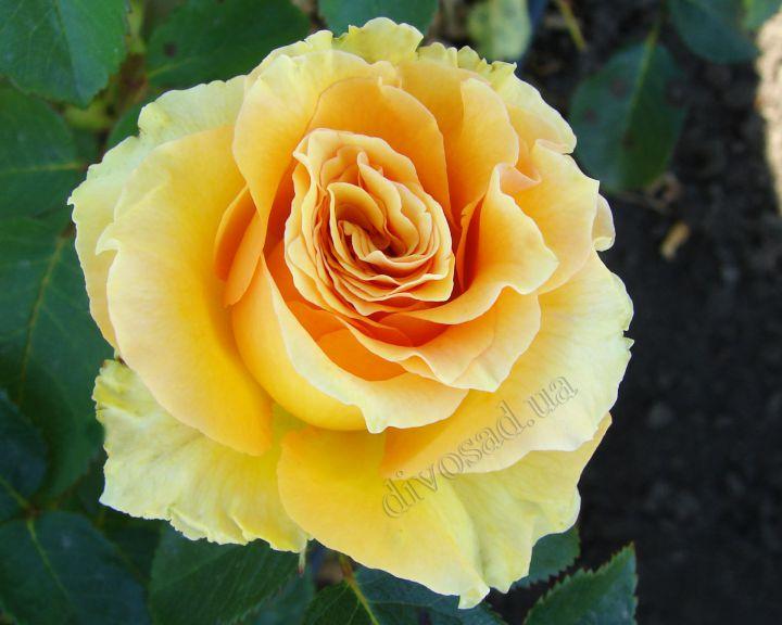Роза ЧАЙНО-ГИБРИДНАЯ И ФЛОРИБУНДА «КАСИМА»