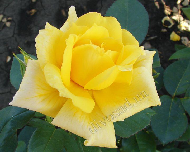 Роза ЧАЙНО-ГИБРИДНАЯ И ФЛОРИБУНДА «ЛАНДОРА»