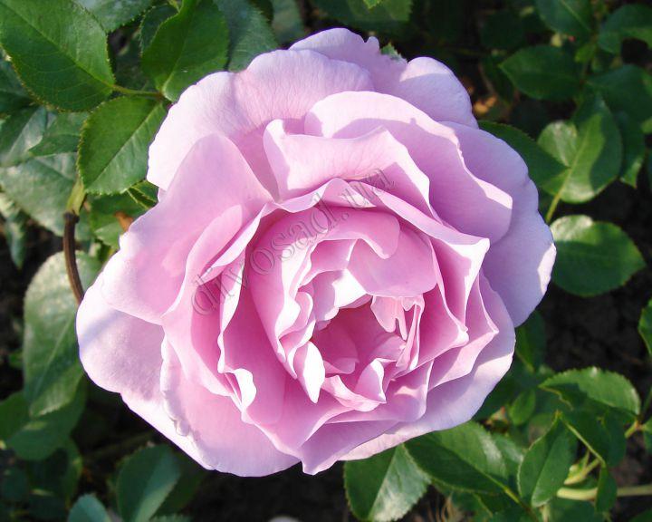 Роза ЧАЙНО-ГИБРИДНАЯ И ФЛОРИБУНДА «ЛЯ РОУЗ ДЮ ПЕТИ ПРИНЦ»