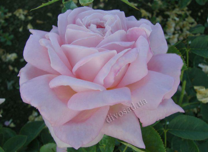 Роза ЧАЙНО-ГИБРИДНАЯ И ФЛОРИБУНДА «МИРИАМ»
