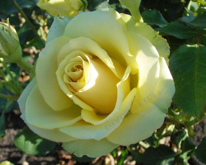 Роза ЧАЙНО-ГИБРИДНАЯ И ФЛОРИБУНДА «МИСТЕЛИ»