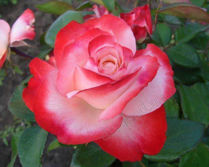 Роза ЧАЙНО-ГИБРИДНАЯ И ФЛОРИБУНДА «НОСТАЛЬЖИ»