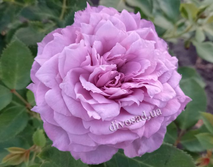 Роза ЧАЙНО-ГИБРИДНАЯ И ФЛОРИБУНДА «НОВАЛИС»
