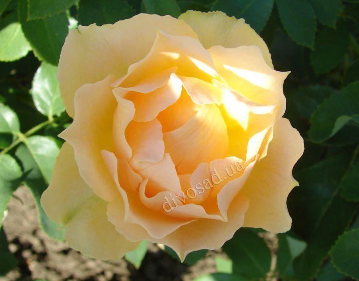 Роза ЧАЙНО-ГИБРИДНАЯ И ФЛОРИБУНДА «ПАОЛО ПЕЙРОНЕ ДЖАРДИНЬЕРЕ»
