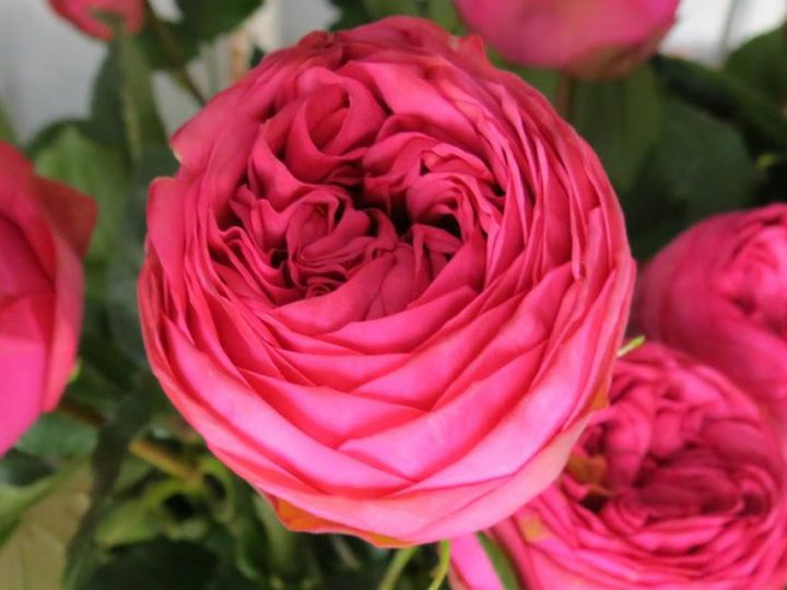 Роза ЧАЙНО-ГИБРИДНАЯ И ФЛОРИБУНДА «ПИНК ПИАНО»