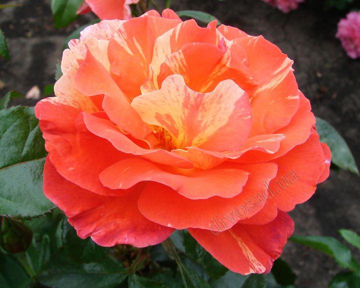Роза ЧАЙНО-ГИБРИДНАЯ И ФЛОРИБУНДА «ПОЛЬ ГОГЕН»