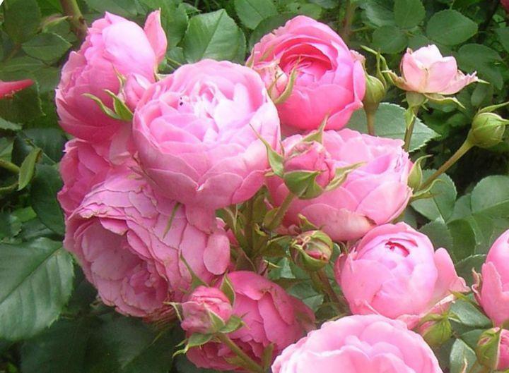 Роза ЧАЙНО-ГИБРИДНАЯ И ФЛОРИБУНДА «ПОМПОНЕЛЛА»