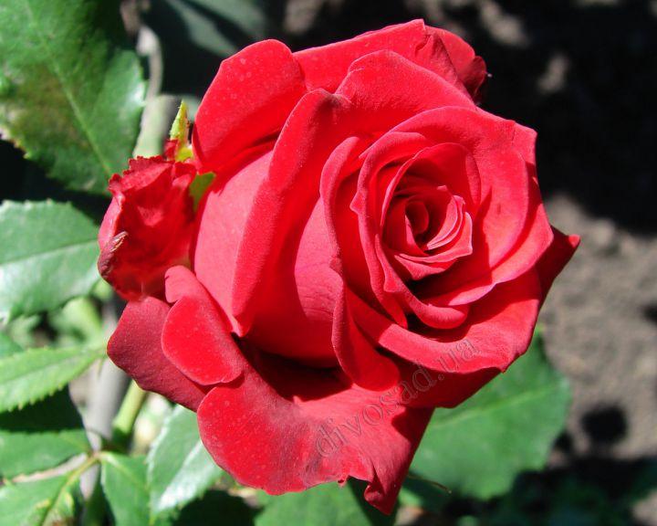 Роза ЧАЙНО-ГИБРИДНАЯ И ФЛОРИБУНДА «ПРЕСТИЖ»