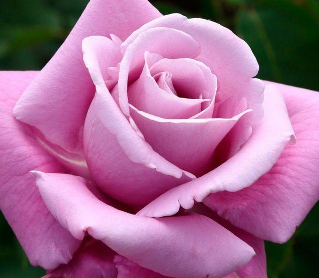 Роза ЧАЙНО-ГИБРИДНАЯ И ФЛОРИБУНДА «ШАРЛЬ ДЕ ГОЛЛЬ»