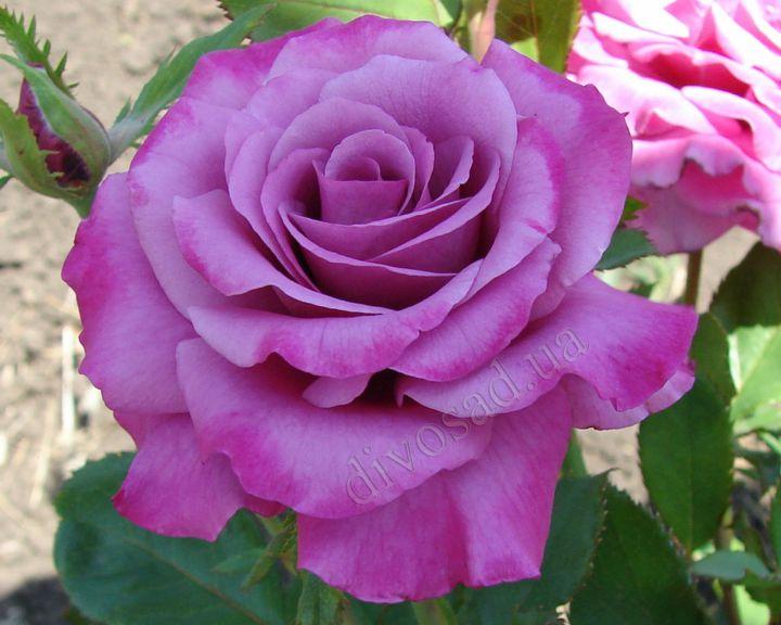 Роза ЧАЙНО-ГИБРИДНАЯ И ФЛОРИБУНДА «ШОКИНГ БЛЮ»