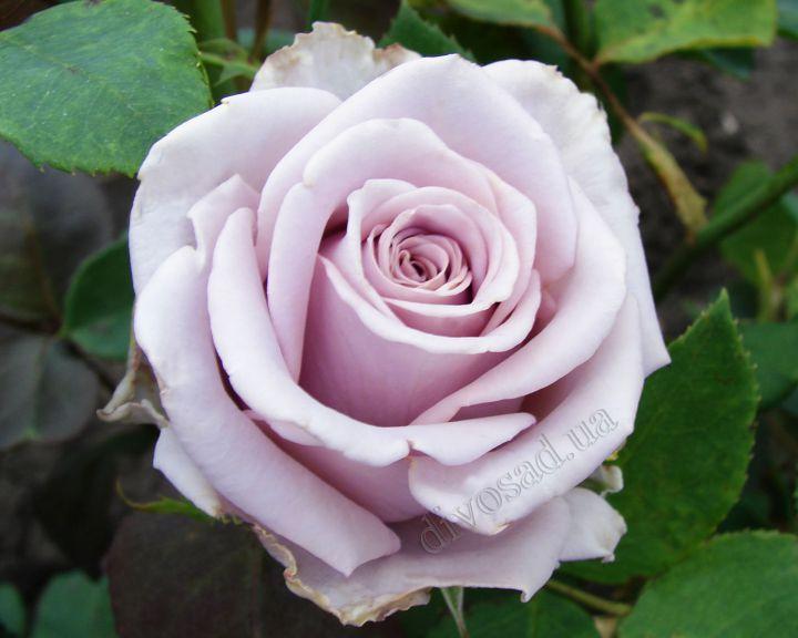 Роза ЧАЙНО-ГИБРИДНАЯ И ФЛОРИБУНДА «СИЛЬВЕР СТОУН»
