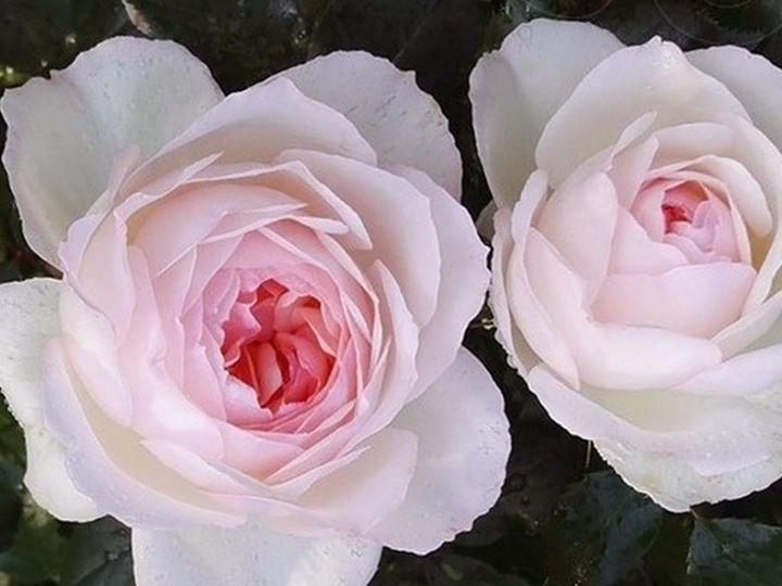 Роза ЧАЙНО-ГИБРИДНАЯ И ФЛОРИБУНДА «СТЕФАНИ БАРОНИН  ЦУ ГУТЕНБЕРГ»