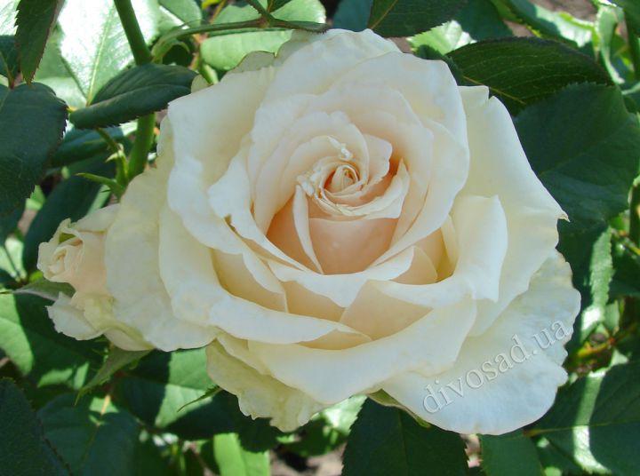 Роза ЧАЙНО-ГИБРИДНАЯ И ФЛОРИБУНДА «ТАЛЕЯ»