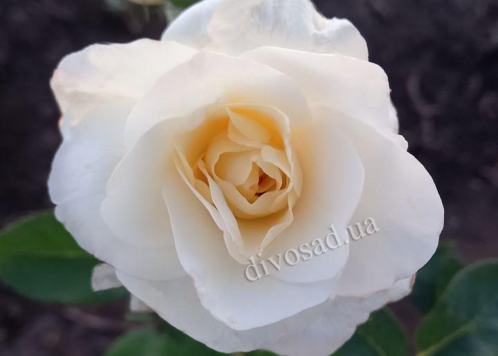 Роза ЧАЙНО-ГИБРИДНАЯ И ФЛОРИБУНДА «ВАЙТ КРИСТМАС»