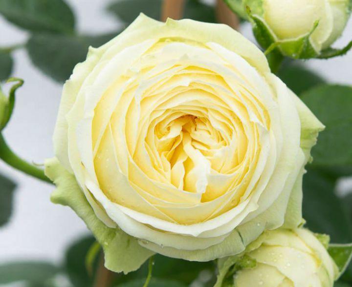 Роза ЧАЙНО-ГИБРИДНАЯ И ФЛОРИБУНДА «ВЕДДИНГ ПИАНО»