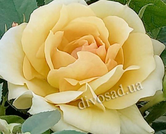 Роза ЧАЙНО-ГИБРИДНАЯ И ФЛОРИБУНДА «ХАНCЕШТАДТ РОСТОК»