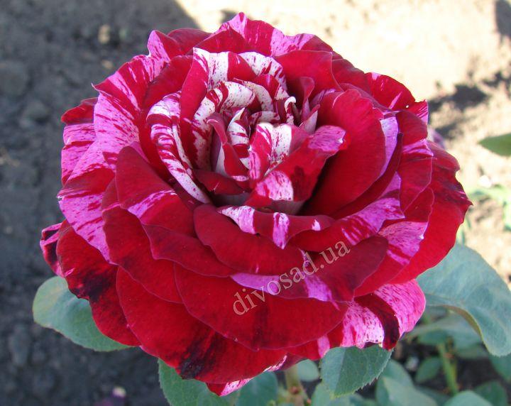 Роза ЧАЙНО-ГИБРИДНАЯ И ФЛОРИБУНДА «ХУЛИО ИГЛЕСИАС»