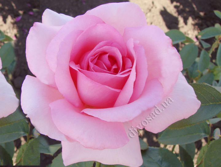 Роза ЧАЙНО-ГИБРИДНАЯ И ФЛОРИБУНДА «ЖАРДИН ДЕ ВИЛЛАНДРИ»