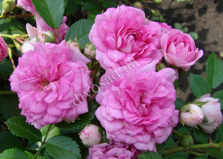 Роза  ПОЧВОПОКРОВНАЯ «КНИРПС (Kordes)»