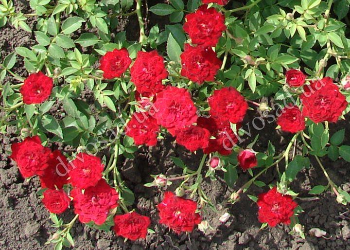 Роза  ПОЧВОПОКРОВНАЯ «РЕД КАСКЕЙД»