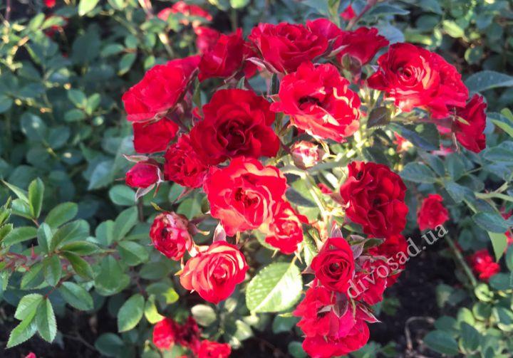 Роза  ПОЧВОПОКРОВНАЯ «СКАРЛЕТ МЕЙЯНДЕКОР»