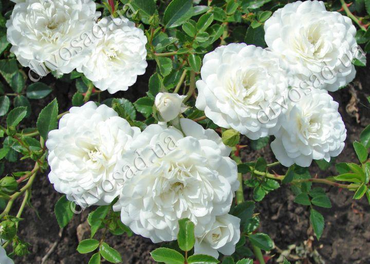 Роза  ПОЧВОПОКРОВНАЯ «СВАНИ (Meilland)»