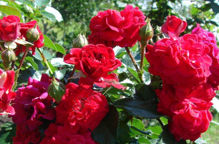 Роза  ШТАМБОВАЯ «ХЕЛЛОУ»
