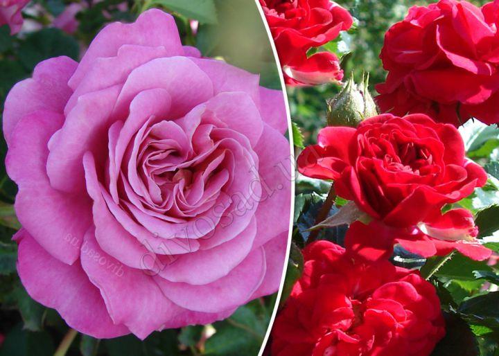 Роза  ШТАМБОВАЯ «АГНЕС ШИЛЛИНГЕР+ХЕЛЛОУ, h=150 см, 2 года»