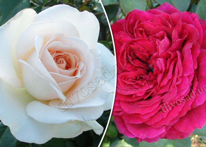 Роза  ШТАМБОВАЯ «АЛЕКСАНДР ПУШКИН+ЛЯ РОЗ ДЕ КАТРЕ ВЕН, h=150 см, 2 года»