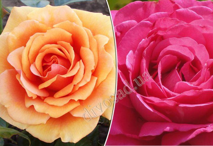 Роза  ШТАМБОВАЯ «АШРАМ+ВЕЛАСКЕС, h=135-140см, 2 года»