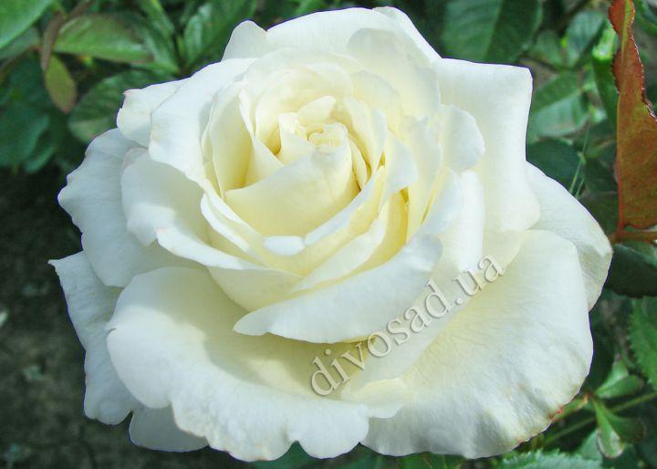 Роза  ШТАМБОВАЯ «АВЕЛАНЖ»