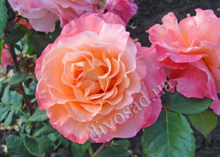 Роза  ШТАМБОВАЯ «АВГУСТА ЛУИЗА, h=100 см, 2 года»